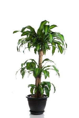 indoor plants: Home plant in flowerpot - Dracaena Massangeana Stock Photo