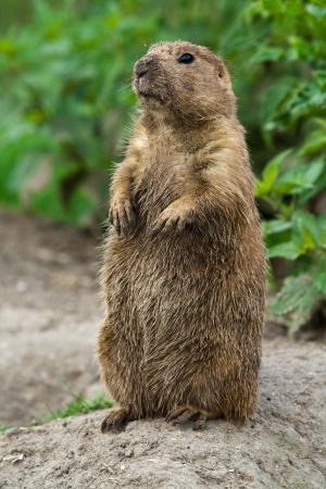 furry animals: Stading de gran perrito de la pradera recta. Estos animales nativos de las praderas de América del Norte