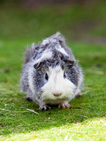 Cute grey and white cavy sitting on green grass photo