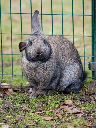 rabbit cage: Grande coniglio puffy in gabbia, seduta in gabbia