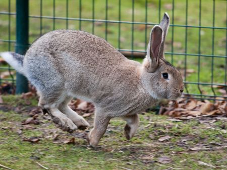 Grey hare running in cage. Slight motion blur Stock Photo