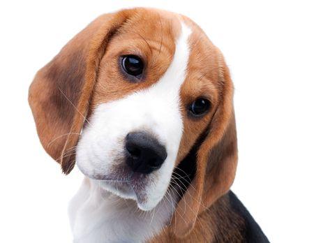 Hund hübsch. Beagle Puppy merkwürdigerweise suchen Standard-Bild - 6690963