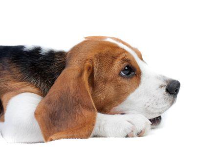 Schattige kleine hond liggend op de vloer. Beagle puppy
