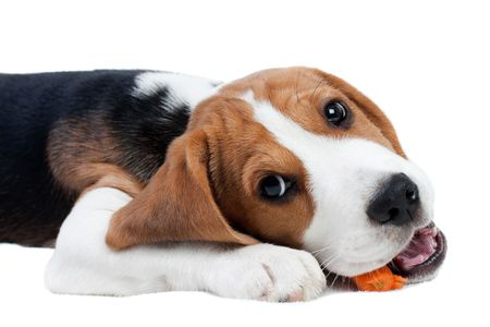 Cute small dog eating carrot. Beagle puppy photo