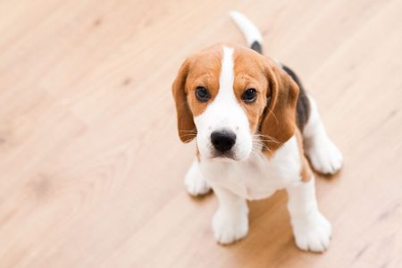 Small dog sitting on the wooden floor. Beagle puppy