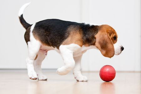 sitting on floor: Dog playing with red ball. Beagle puppy