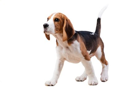 Young puppy of beagle breed. Isolated over white photo