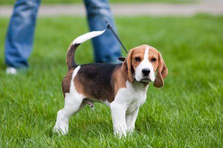 dog on leash: Perro en el Prado verde. Cachorro de Beagle caminando Foto de archivo