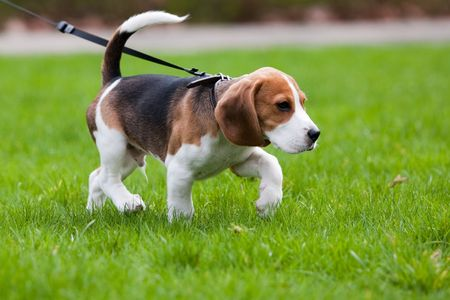 dog leash: Beagle dog on the scent. Green grass.