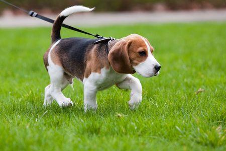 Perro Beagle en el olor. Hierba verde.