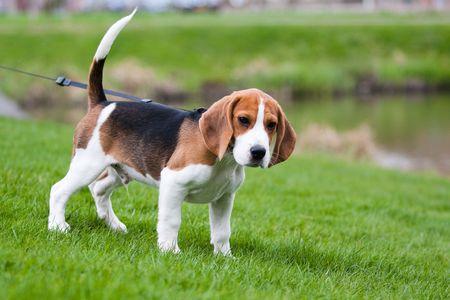 Dog on green meadow. Beagle puppy walking photo
