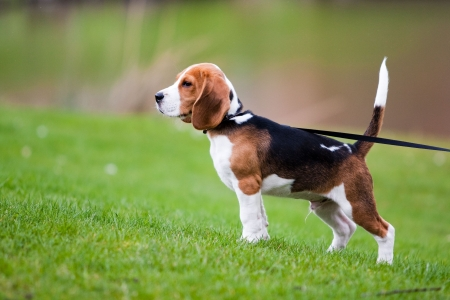 dog leash: Dog on green meadow. Beagle puppy walking