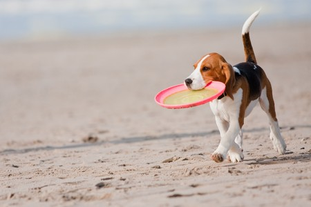pal: Small dog, beagle puppy playing with frisby on beach Stock Photo