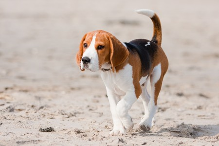 dog nose: Small dog, beagle puppy walking on the beach