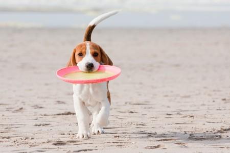 Small dog, beagle puppy playing on beach