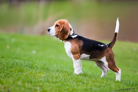 Dog on green meadow. Beagle puppy walking photo
