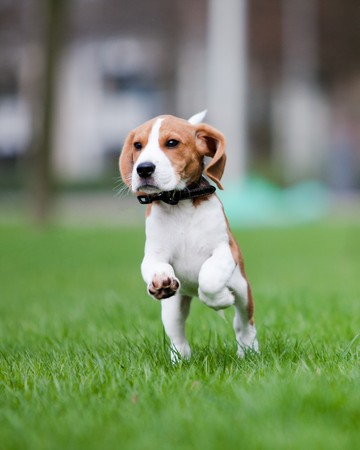 Young beagle puppy running and jumping photo