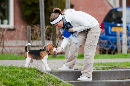 Girl playing with young dog. Beagle puppy