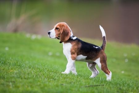 Hund auf der grünen Wiese. Beagle Puppy walking Standard-Bild - 7669094
