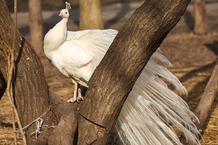 peafowl: White peafowl sitting on the tree Stock Photo