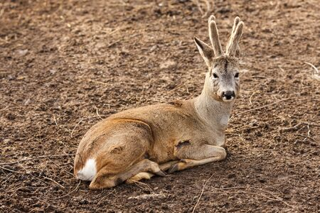 capreolus: The roe deer lying on the ground