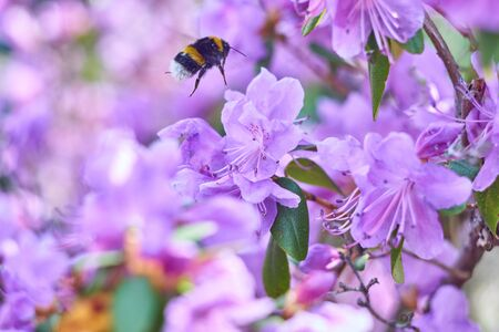 bumblebee pollinates a purple rhododendron bush on a sunny day