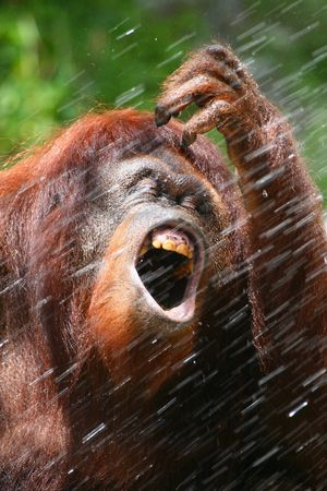 orangutan in the shower Stock Photo