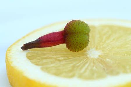 kiem van de bloem op de citroen Stockfoto