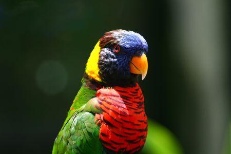 rainbow lory, parrot Imagens - 2159162