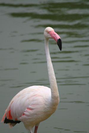 american white flamingo Stock Photo