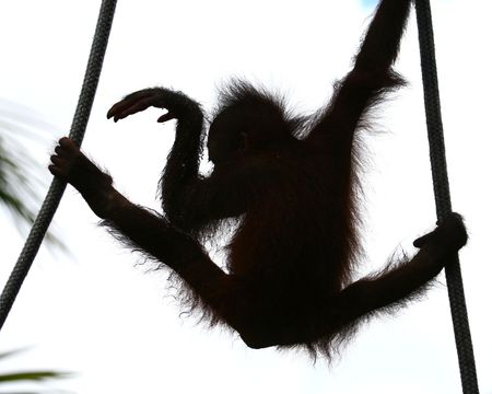 orangutan  dancing on the ropes Stock Photo