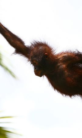 jumping orangutan