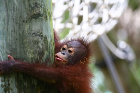 orangutans baby on the tree photo