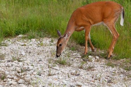 Roe Deer eating grass