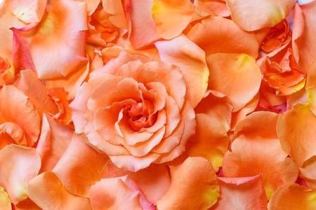 Rose in Petals photo