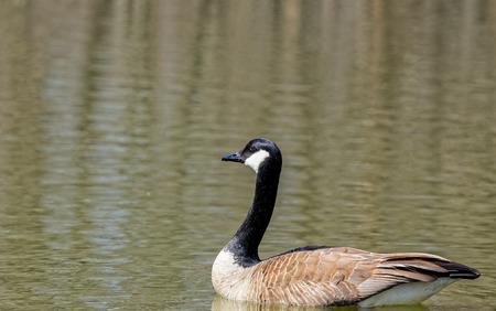 Canad� Goose  photo
