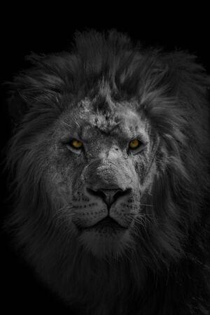 ferocious: African Lion Stock Photo