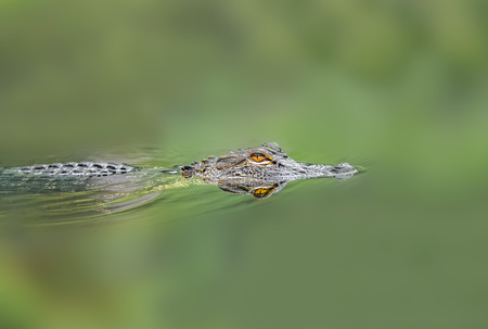 Young alligator in wild lake