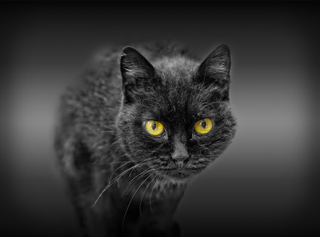 Portrait of black cat with yellow eyes.