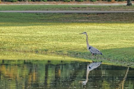 great blue heron: Portrait of wild Great Blue Heron