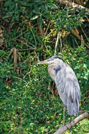 ardeidae: Portrait of wild Great Blue Heron