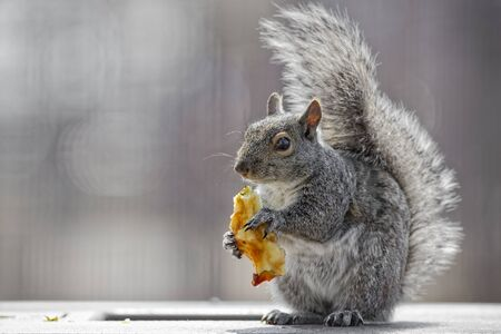 apple core: Grey squirrel posing while eating apple core
