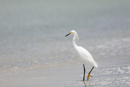 salt marsh: Great Egret hunting on the beach in Naples, Florida