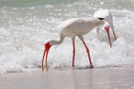 Wadding bird, White Ibis in Naples, Florida