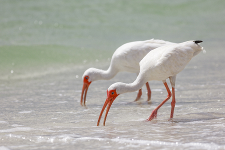 wadding: Wadding bird, White Ibis in Naples, Florida