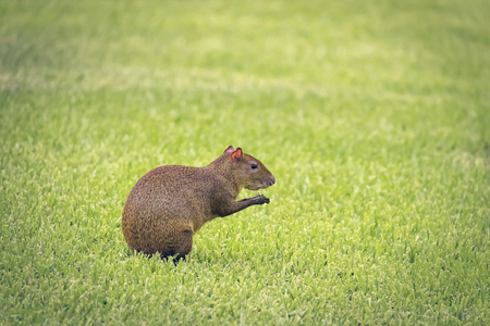agouti: Agouti looking for food on summertime early morning. Stock Photo