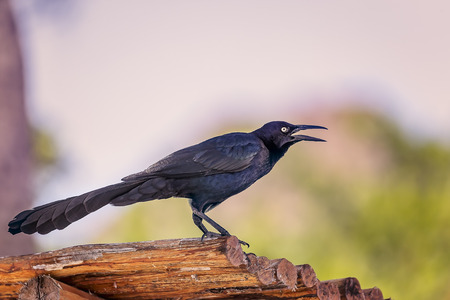 melodious: Mexican Melodious Blackbird singing on the beach. Stock Photo