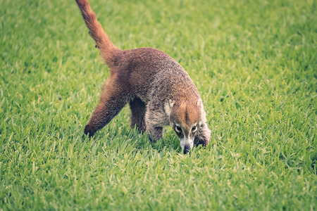 Mexican Coati looking for food on early summer morning. Stock Photo