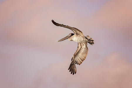 Pelican flying over the ocean and looking for fishes Stock Photo