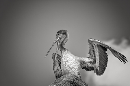 wingspan: Portrait of pelican sitting in the nest. Stock Photo